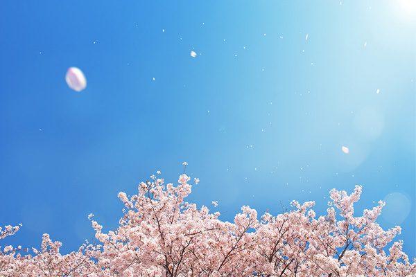 桜の花画像