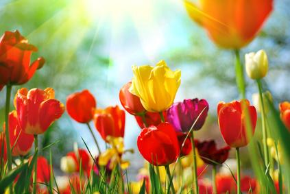 Tulips画像