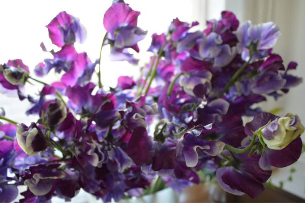 スウィートピー紫画像