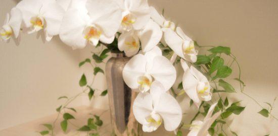 胡蝶蘭画像
